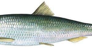 A halak rendszertani beosztása testfelépítésük és életmódjuk